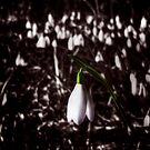 Snow Drop by Den McKervey