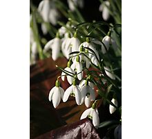 Spring Snowdrops Photographic Print
