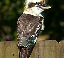 Kookaburra on the Back Fence by diggle