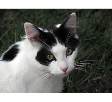 Barney the curious black and white cat Photographic Print