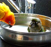 It's Not A Bird Bath... It's A Pan Bath LOL... - Conures - NZ by AndreaEL
