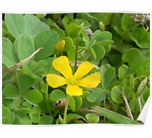 Edible Yellow Wood Sorrel, Yellow Oxalis Poster