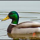 Quack by vince dwyer