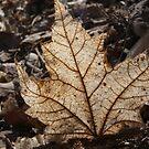 Leaf in Sunlight by JRobinWhitley