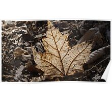 Leaf in Sunlight Poster