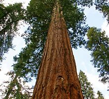 Sequoia Tree by Ross Campbell
