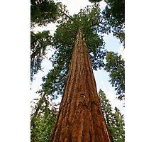 Sequoia Tree Photographic Print