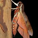 Hawk moth - Gnathothlibus erotus by Andrew Trevor-Jones