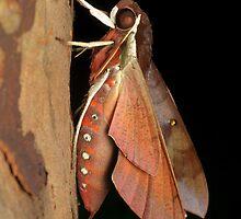 Hawk moth - Gnathothlibus erotus by Andrew Trevor-Jones