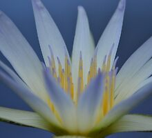 Water lily by joshquag