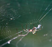 Garden Spider  by tidalcreations
