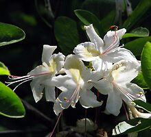 Western Azalea by Chris Gudger