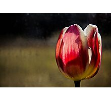 Red & Tulip Photographic Print
