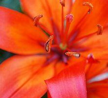 Orange Blossom by Deb Maidment