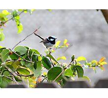 Blue Fairy Wren Photographic Print