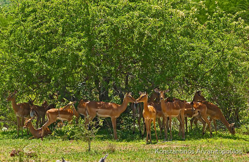 Impala herd by Konstantinos Arvanitopoulos
