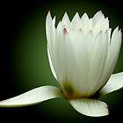 White Water Lily by Carol F. Austin