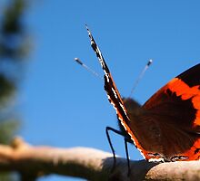 Red Admiral by Deb Maidment