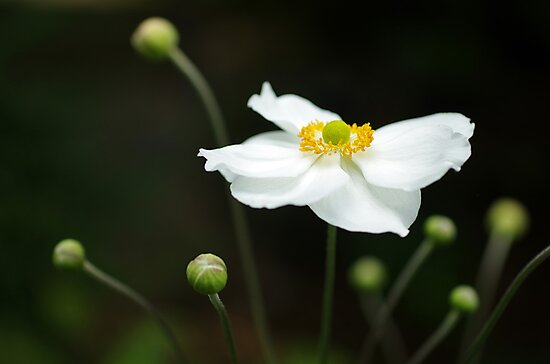 wind anenome by Clare Colins