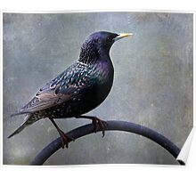 European Starling ~ Poster