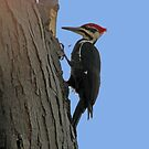 Pileated woodpecker chipping away by hummingbirds