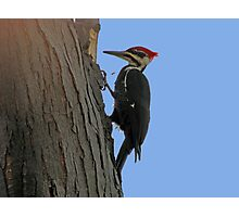 Pileated woodpecker chipping away Photographic Print