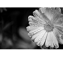 Calendula at the Height of Summer Photographic Print