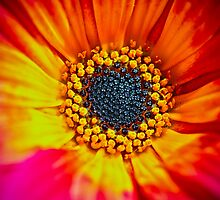 Sunburst by Stephanie Sim