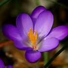 Crocus 2012 by Brent McMurry