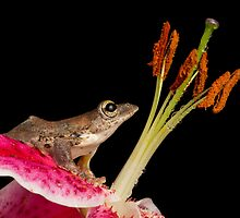 Malaysian flying frog by Angi Wallace