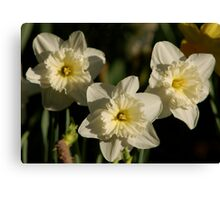 Pale Yellow Daffodils Canvas Print