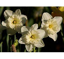 Pale Yellow Daffodils Photographic Print