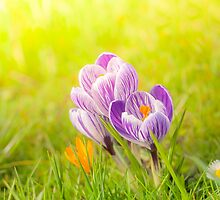 Colourful crocuses by Arja Schrijver