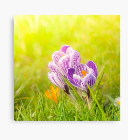 Colourful crocuses Canvas Print