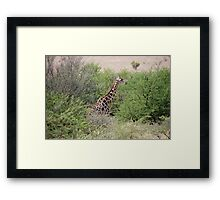 Giraffe in South Africa Framed Print