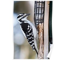 Woodpecker - Ottawa, ON Poster