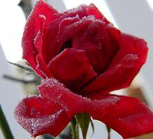Frozen Rose by RonniLynn2012