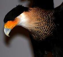 Caracara 2 by freevette