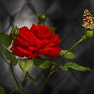 ROSE AND THE PAINTED LADY by Sandy Stewart