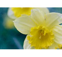 Daffodil  dreams Photographic Print