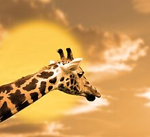 zebra portrait in the sunset by morrbyte