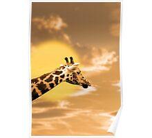 zebra portrait in the sunset Poster