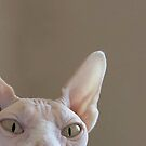 Hairless Sphynx Cat iPhone Case by Glennis  Siverson