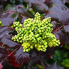 Holly, Cabbage  by dge357