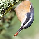 """Seed for you…"" -- Red-breasted Nuthatch by Tom Talbott"
