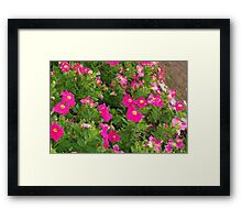 Pink petunia patch Framed Print