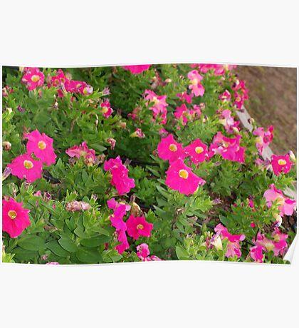 Pink petunia patch Poster