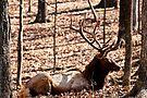 Sleeping Elk by barnsis