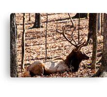 Sleeping Elk Canvas Print