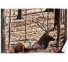 Sleeping Elk Poster